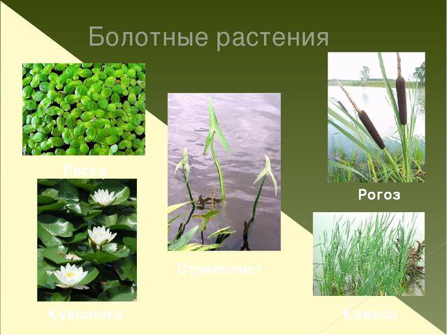 Багульник Росянка Болотный мирт Болотные растения