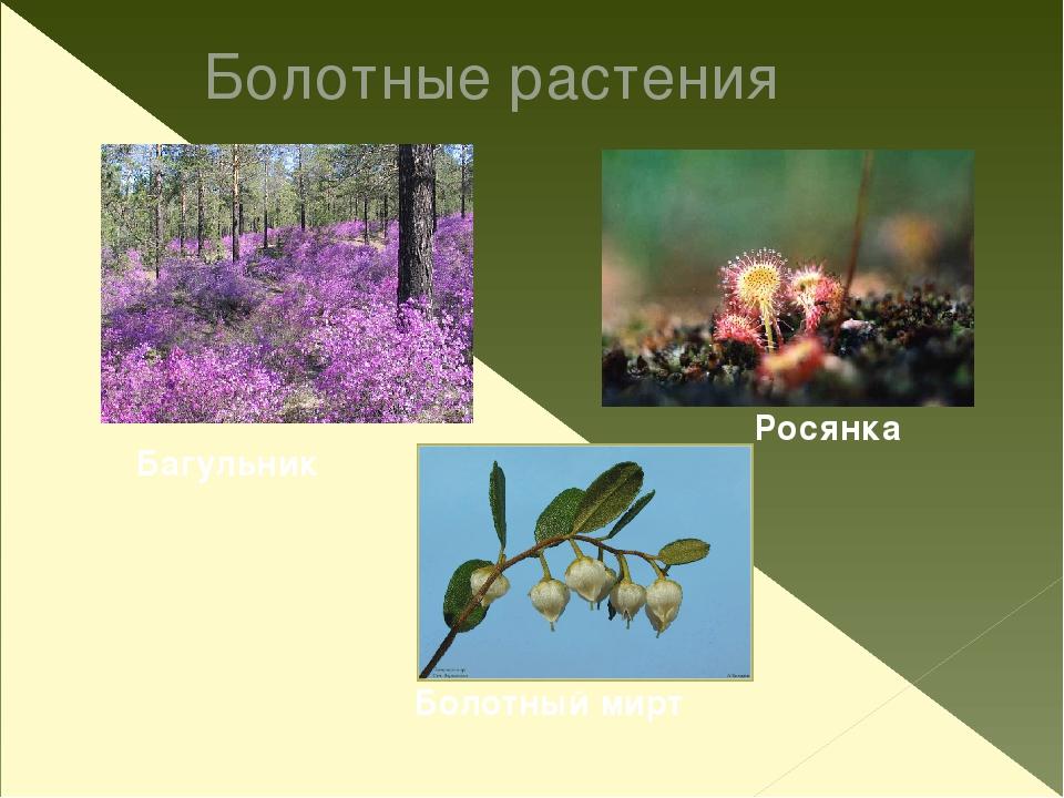 Брусника Клюква Черника Голубика Морошка Ягодные растения