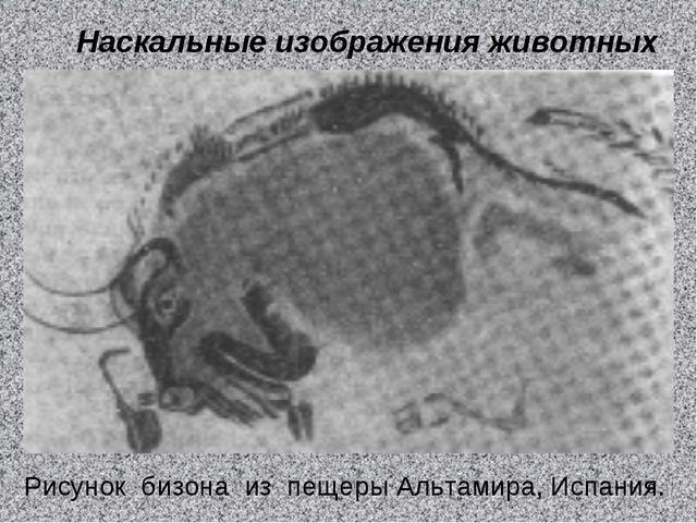 Наскальные изображения животных Рисунок бизона из пещеры Альтамира, Испания. *