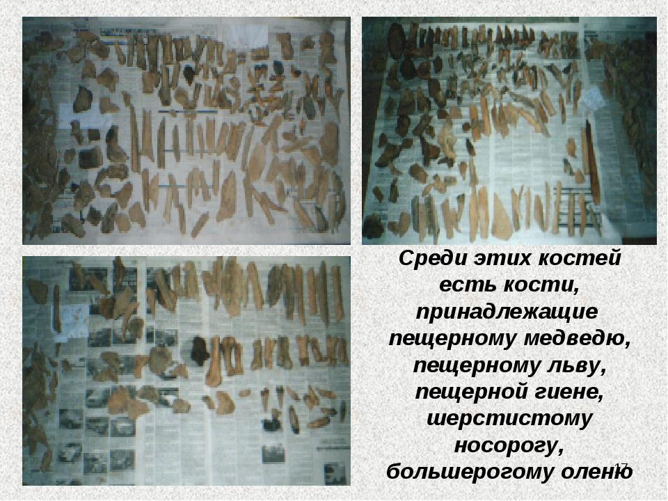 Среди этих костей есть кости, принадлежащие пещерному медведю, пещерному льву...
