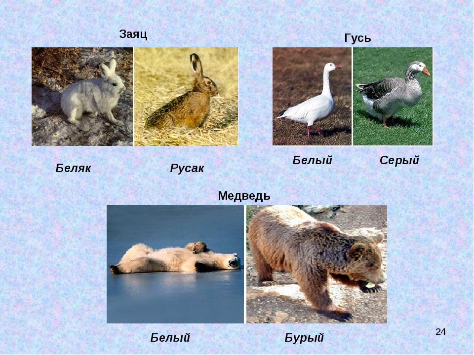 Заяц Беляк Русак Гусь Белый Серый Медведь Белый Бурый *