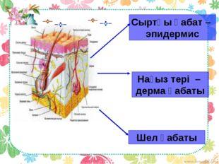 Сыртқы қабат – эпидермис Нағыз тері – дерма қабаты Шел қабаты