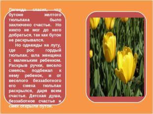 Легенда гласит, что бутоне желтого тюльпана было заключено счастье. Но никто