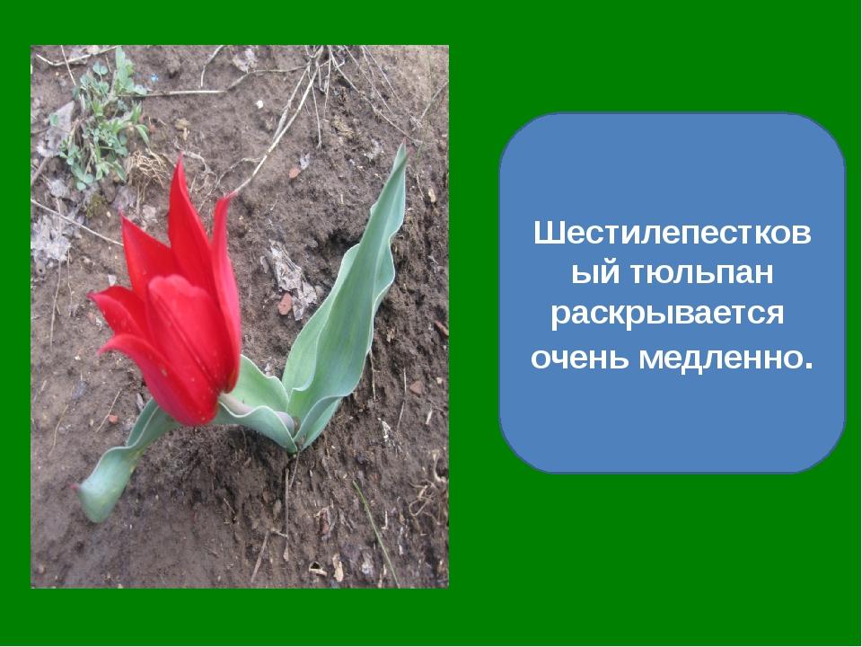 Шестилепестковый тюльпан раскрывается очень медленно.