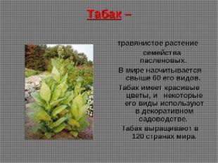 Табак – травянистое растение семейства пасленовых. В мире насчитывается свыше