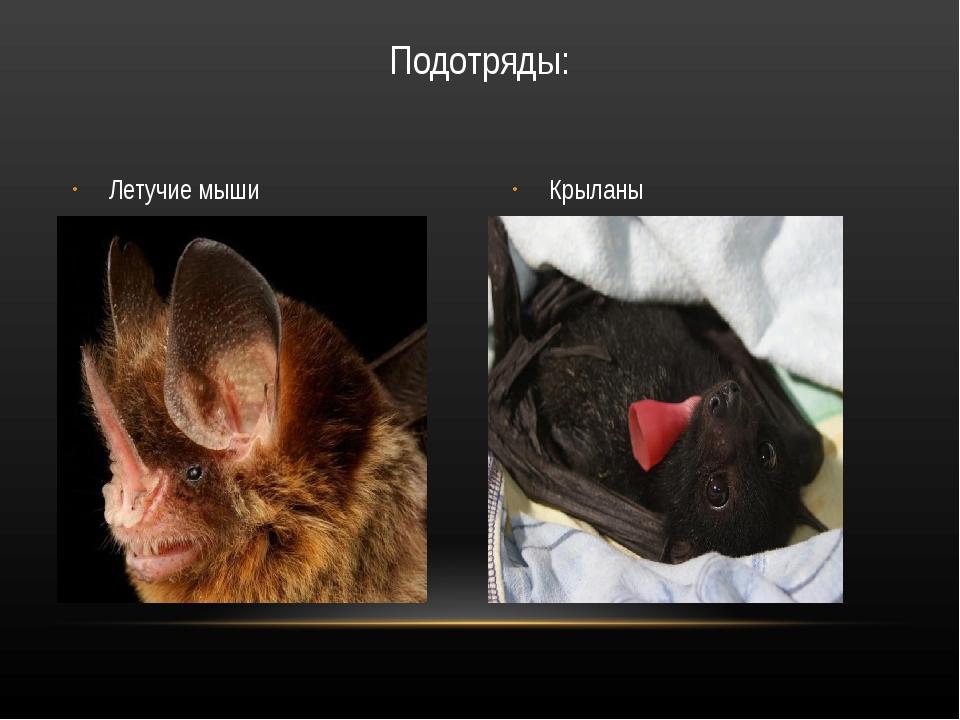 Летучие мыши Крыланы Подотряды: