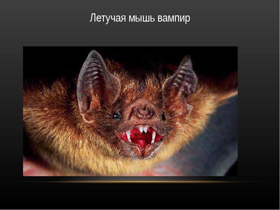 Летучая мышь вампир