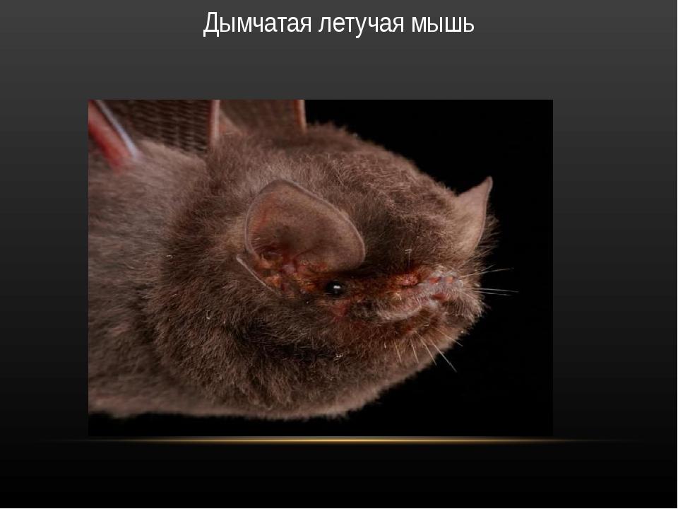 Дымчатая летучая мышь