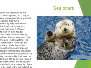 Sea otters Sea otters are important to the California ecosystem, and they're