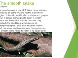 The smooth snake The smooth snake is one of Britain's rarest animals, found o
