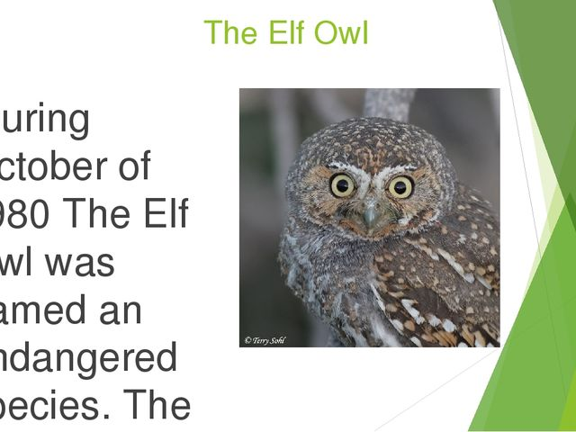 The Elf Owl During October of 1980 The Elf Owl was named an endangered spe...