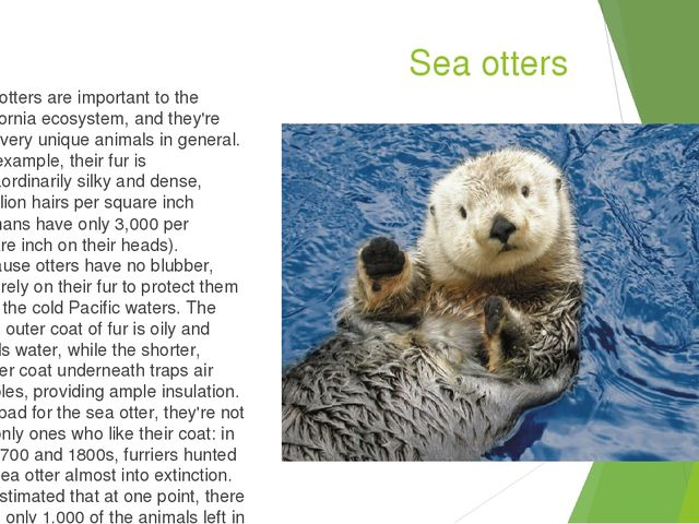 Sea otters Sea otters are important to the California ecosystem, and they're...