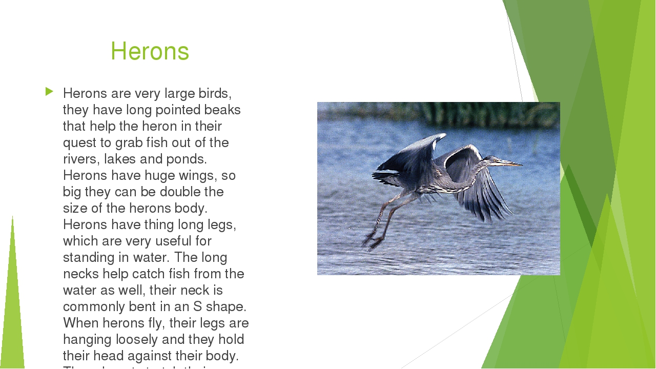 Herons Herons are very large birds, they have long pointed beaks that help th...