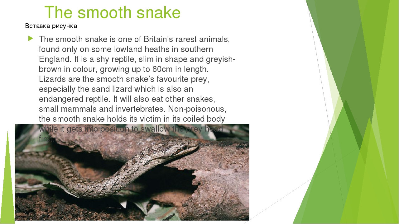 The smooth snake The smooth snake is one of Britain's rarest animals, found o...