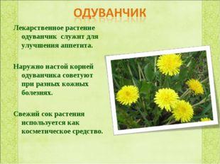 Лекарственное растение одуванчик служит для улучшения аппетита. Наружно насто