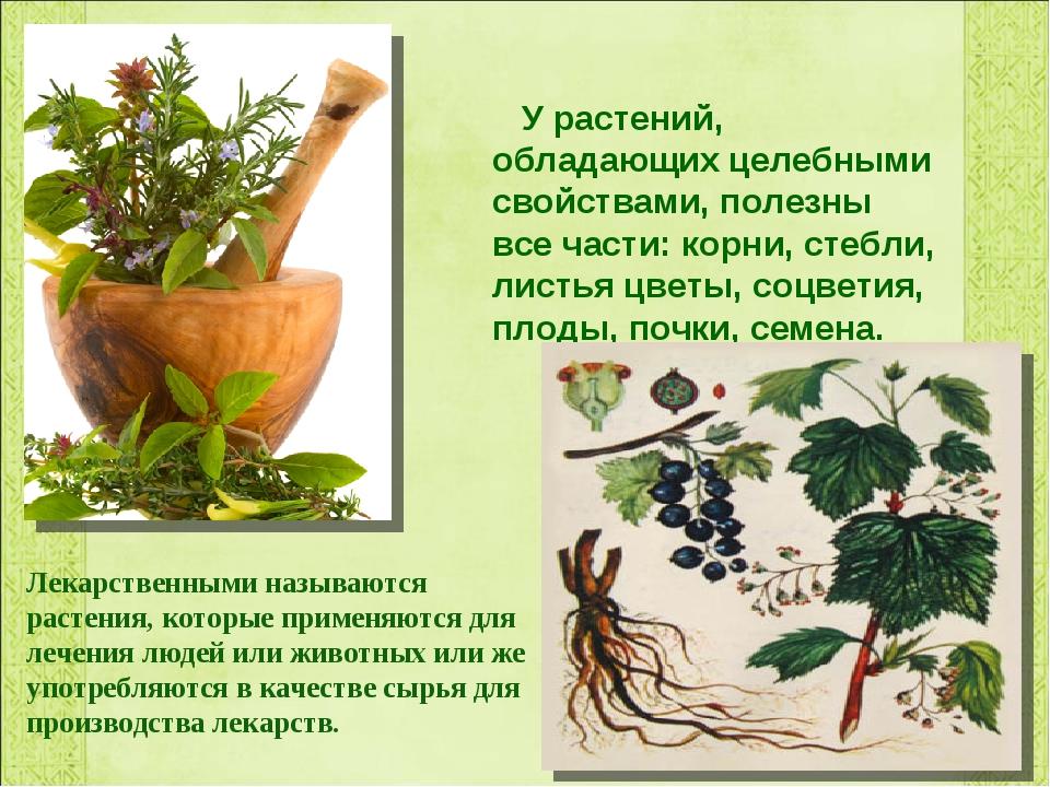 У растений, обладающих целебными свойствами, полезны все части: корни, стебл...