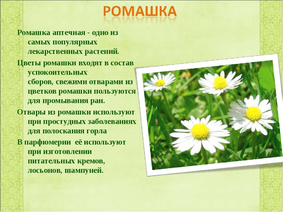 Ромашка аптечная - одно из самых популярных лекарственных растений. Цветы ром...