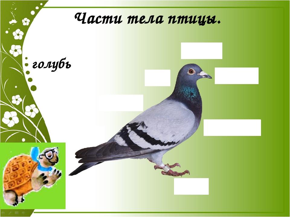 Части тела птицы. голубь ГОЛОВА ШЕЯ КРЫЛЬЯ ХВОСТ НОГИ ТУЛОВИЩЕ КЛЮВ Части тел...