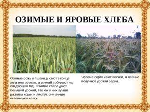 Озимые рожь и пшеницу сеют в конце лета или осенью, а урожай собирают на след