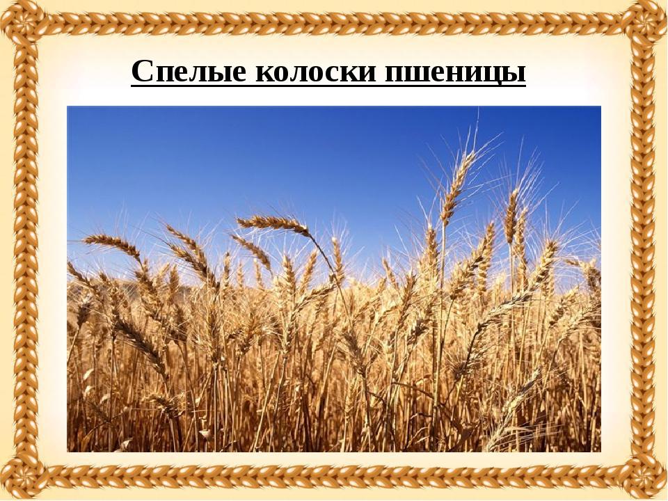 Спелые колоски пшеницы