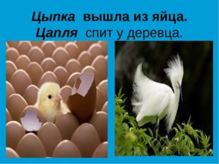 Цыпка вышла из яйца. Цапля спит у деревца.