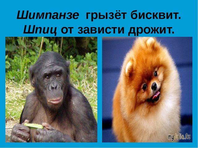 Шимпанзе грызёт бисквит. Шпиц от зависти дрожит.
