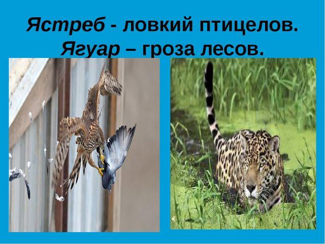 Ястреб - ловкий птицелов. Ягуар – гроза лесов.