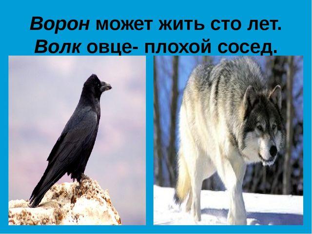 Ворон может жить сто лет. Волк овце- плохой сосед.
