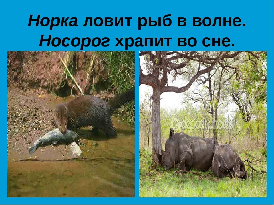 Норка ловит рыб в волне. Носорог храпит во сне.