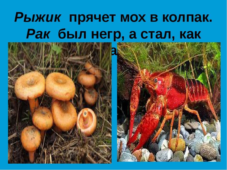 Рыжик прячет мох в колпак. Рак был негр, а стал, как мак.