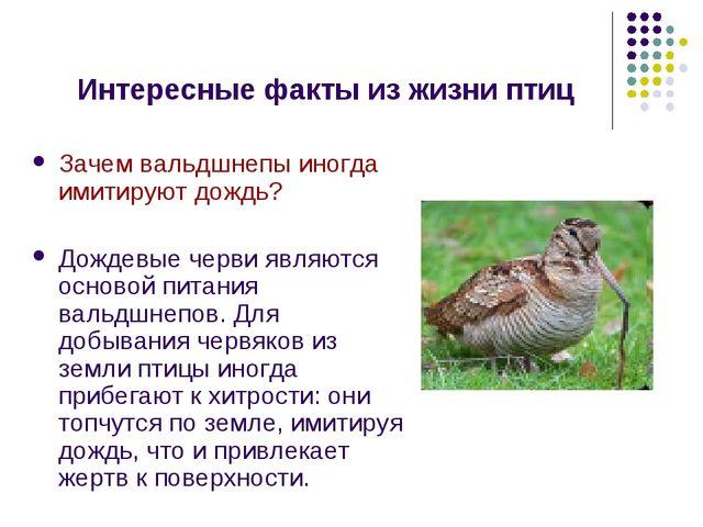 Интересные факты из жизни птиц Зачем вальдшнепы иногда имитируют дождь? Дожде...