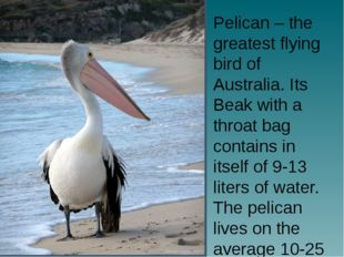 Pelican – the greatest flying bird of Australia. Its Beak with a throat bag c