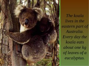 The koala lives in the eastern part of Australia. Every day the koala eats a