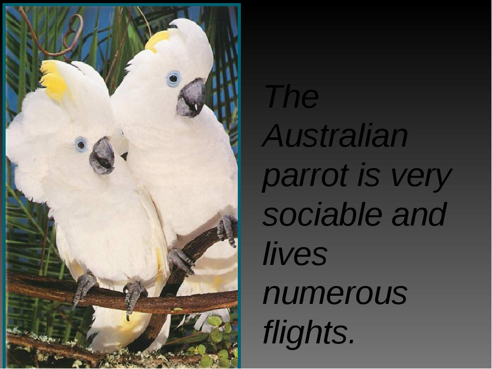 The Australian parrot is very sociable and lives numerous flights.