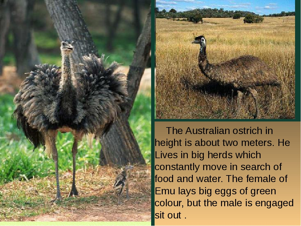 The Australian ostrich in height is about two meters. He Lives in big herds...