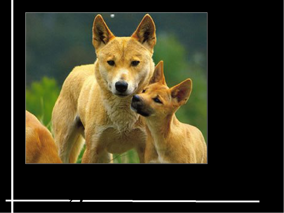 Dingoes Dingoes are dog-like animals that live in Australia. They hunt mostl...