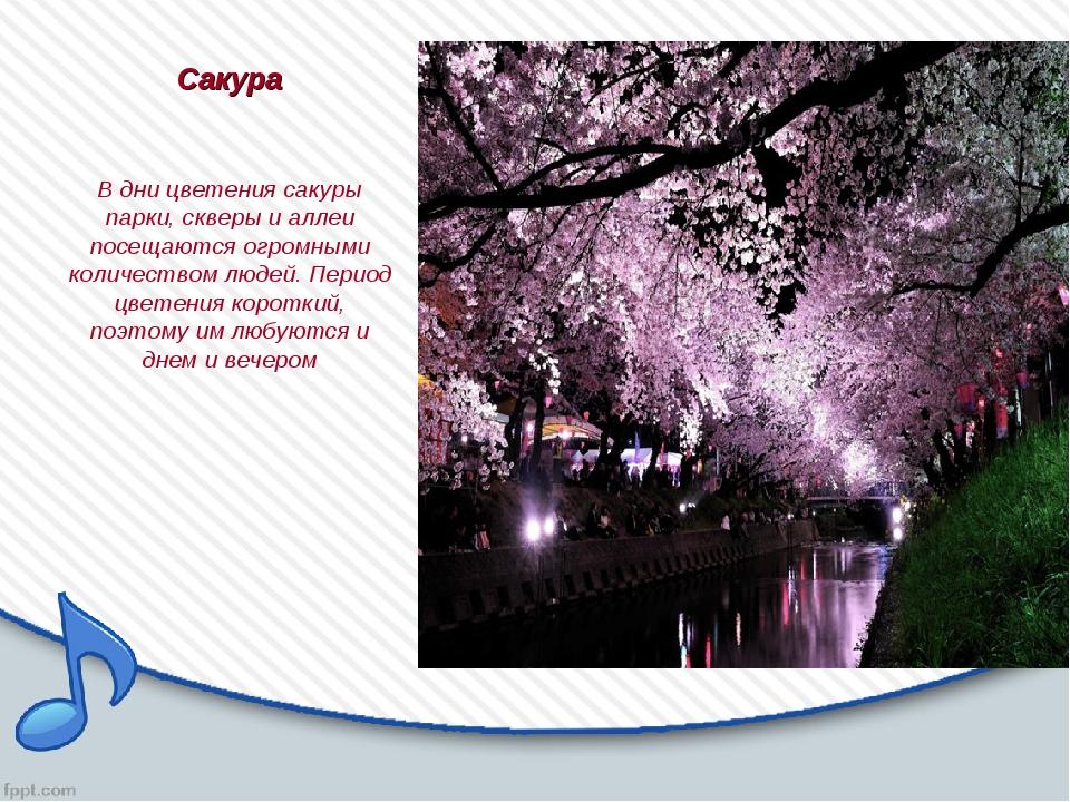 Сакура В дни цветения сакуры парки, скверы и аллеи посещаются огромными колич...