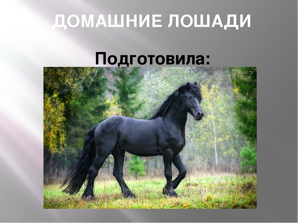 ДОМАШНИЕ ЛОШАДИ Подготовила: Ефремова Ксения