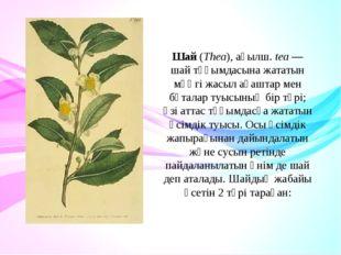 Шай(Thea),ағылш.tea— шай тұқымдасына жататын мәңгі жасыл ағаштар мен бұта