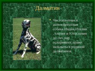 Далматин Чистоплотная и интеллигентная собака.Индия,Италия,Англия и Югославия