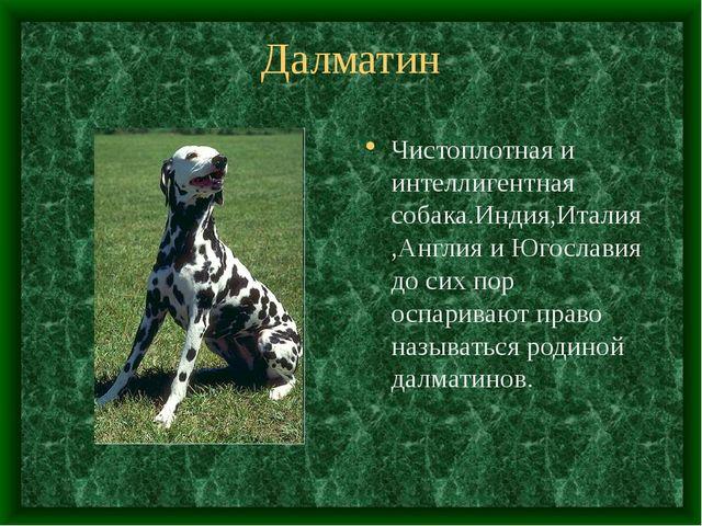 Далматин Чистоплотная и интеллигентная собака.Индия,Италия,Англия и Югославия...