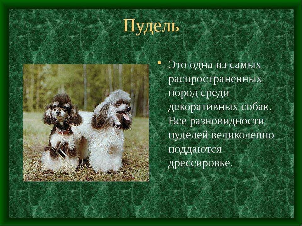 Пудель Это одна из самых распространенных пород среди декоративных собак. Все...