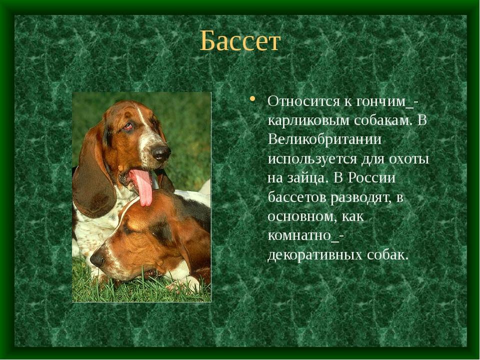 Бассет Относится к гончим_- карликовым собакам. В Великобритании используется...