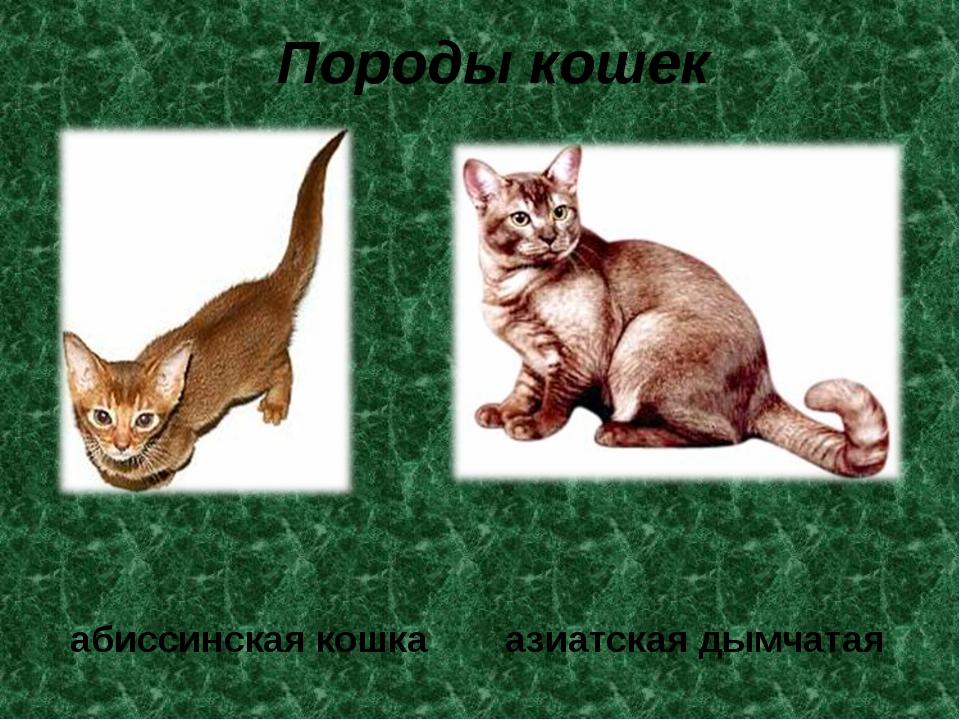 Породы кошек абиссинская кошка азиатская дымчатая