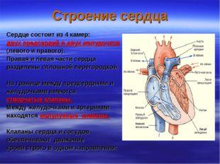 Строение сердца Сердце состоит из 4 камер: двух предсердий и двух желудочков