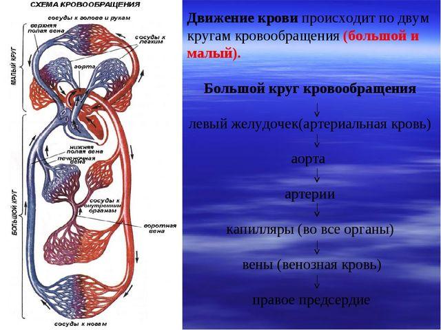 Движение крови происходит по двум кругам кровообращения (большой и малый). Бо...