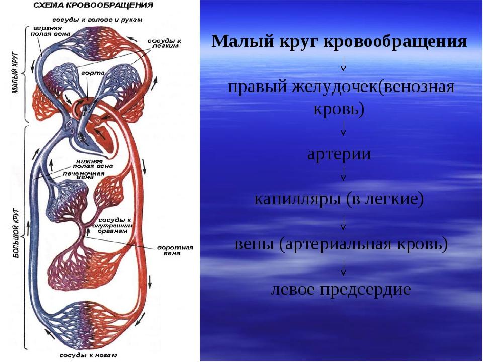 Малый круг кровообращения правый желудочек(венозная кровь) артерии капилляр...