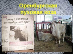 Оренбургская пуховая коза