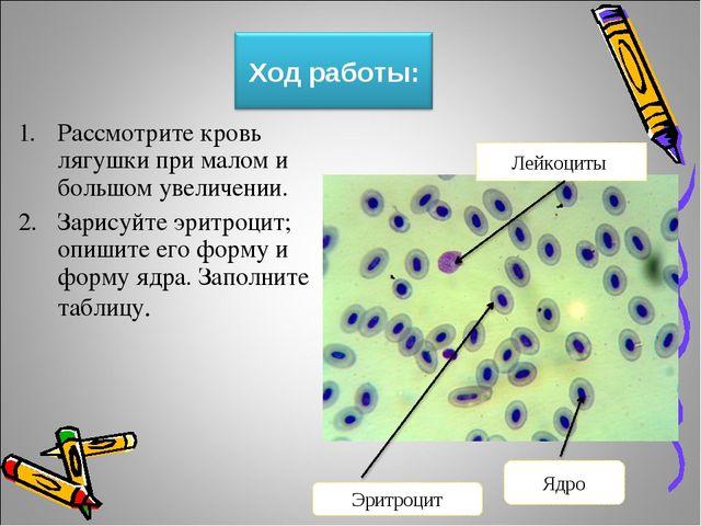 Рассмотрите кровь лягушки при малом и большом увеличении. Зарисуйте эритроцит...