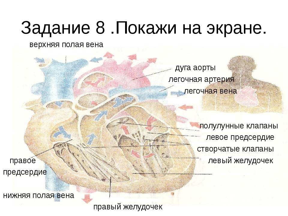 Задание 8 .Покажи на экране. верхняя полая вена дуга аорты легочная артерия л...